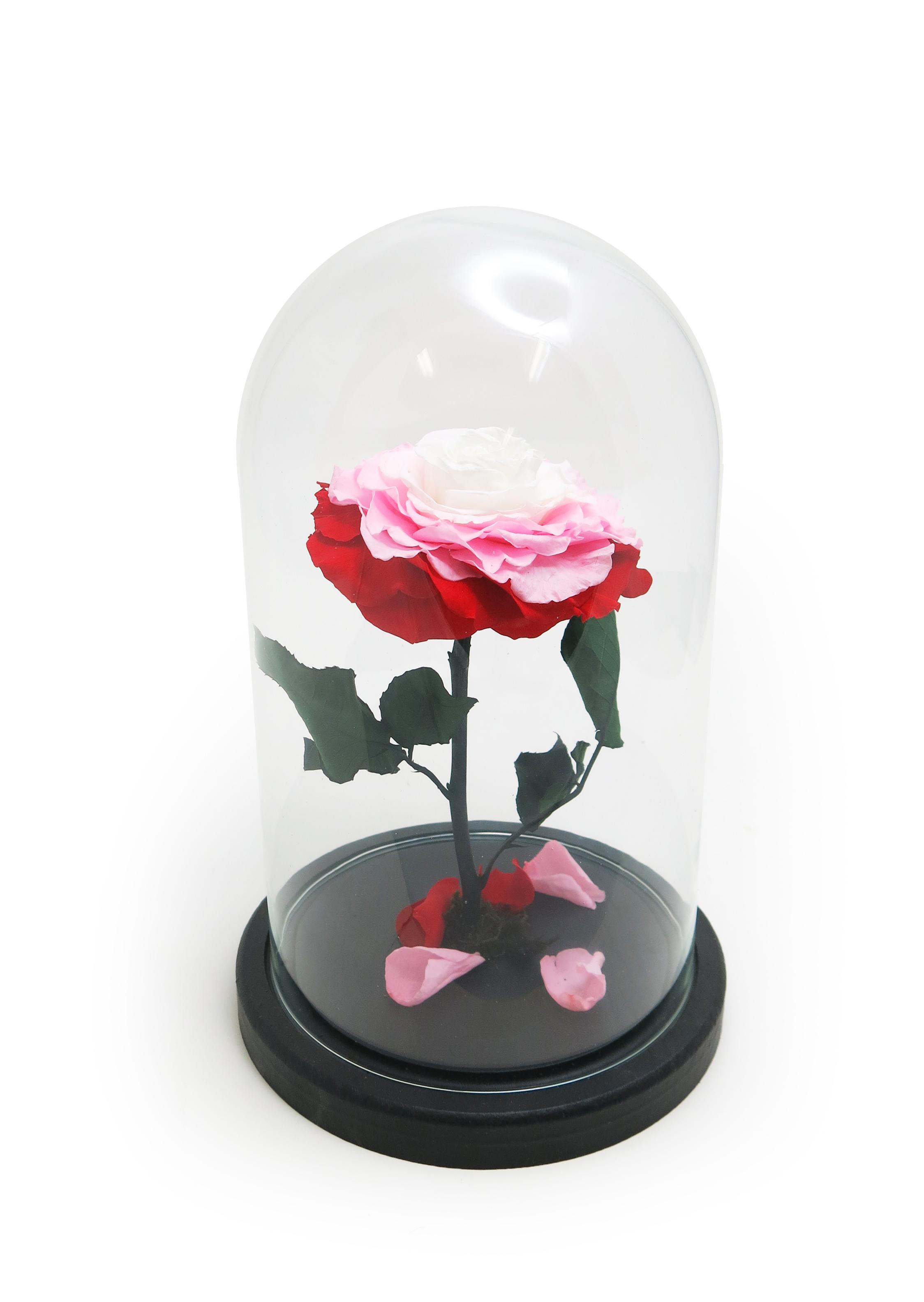 """Стабилизированная Роза в стеклянной колбе H26 D16 цвет бутона """"переход Красный, розовый, белый"""""""